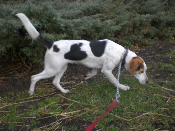 Barney Treeing Walker Coonhound 2