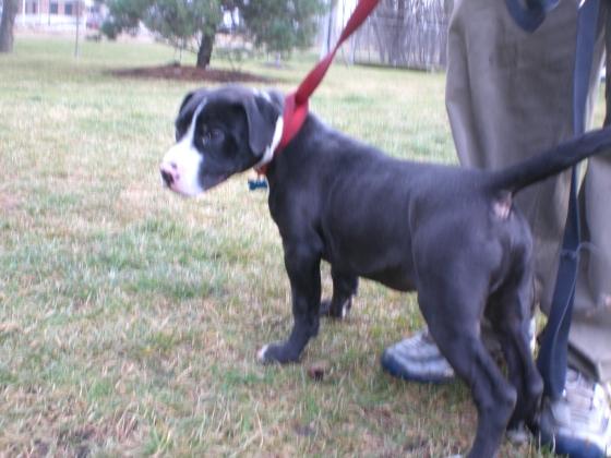 Tornado Pit Bull Terrier 1