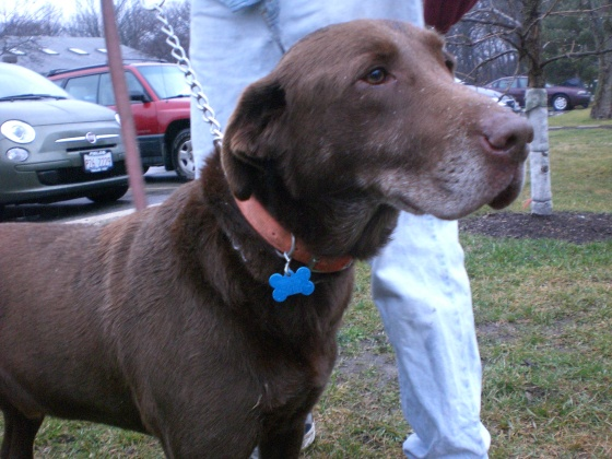 Dagda Chocolate Labrador Retriever 1