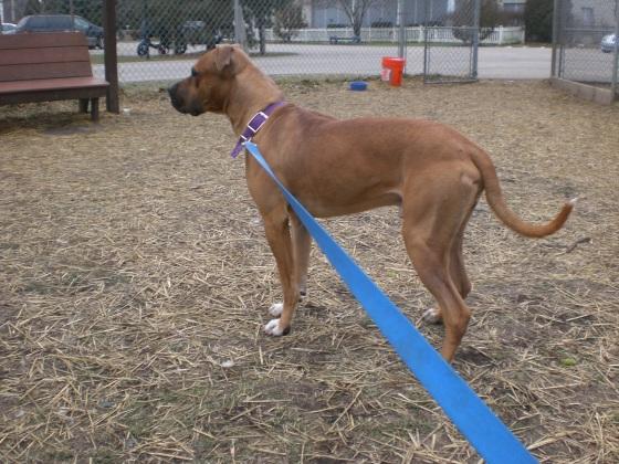 Zeus Boxer Pit Bull Terrier 1