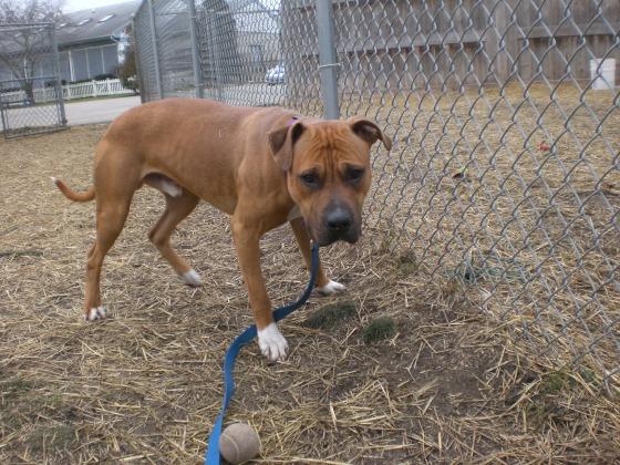 Zeus Boxer Pit Bull Terrier 2