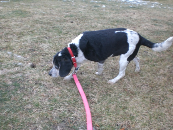 Freckles Beagle 1
