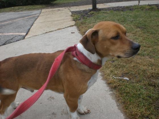 Mister Beagle 1