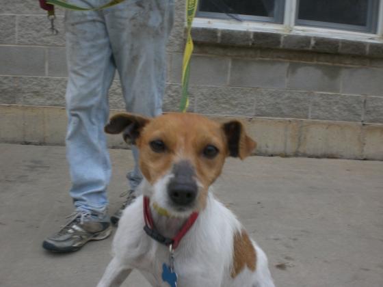 Rita Parson Russell Terrier 1