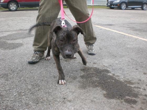 Vivian Pit Bull Terrier 2