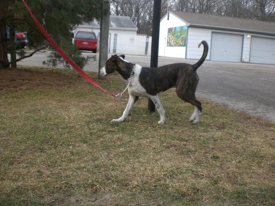 Keegan Pointer Pit Bull Terrier 2