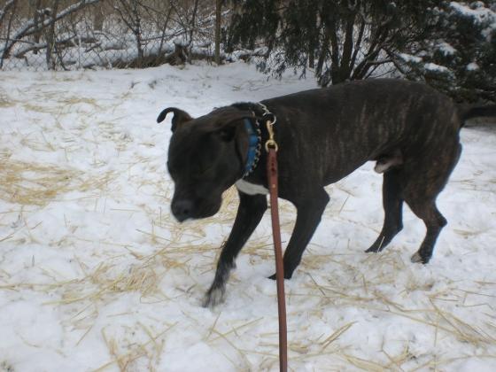 Rock Pit Bull Terrier 2