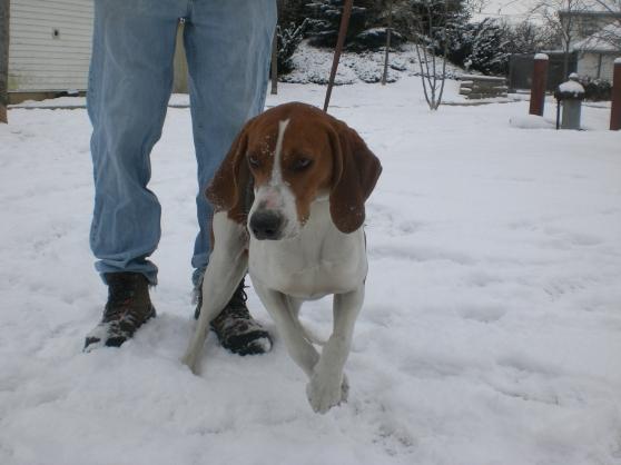 Ranger Treeing Walker Coonhound 1