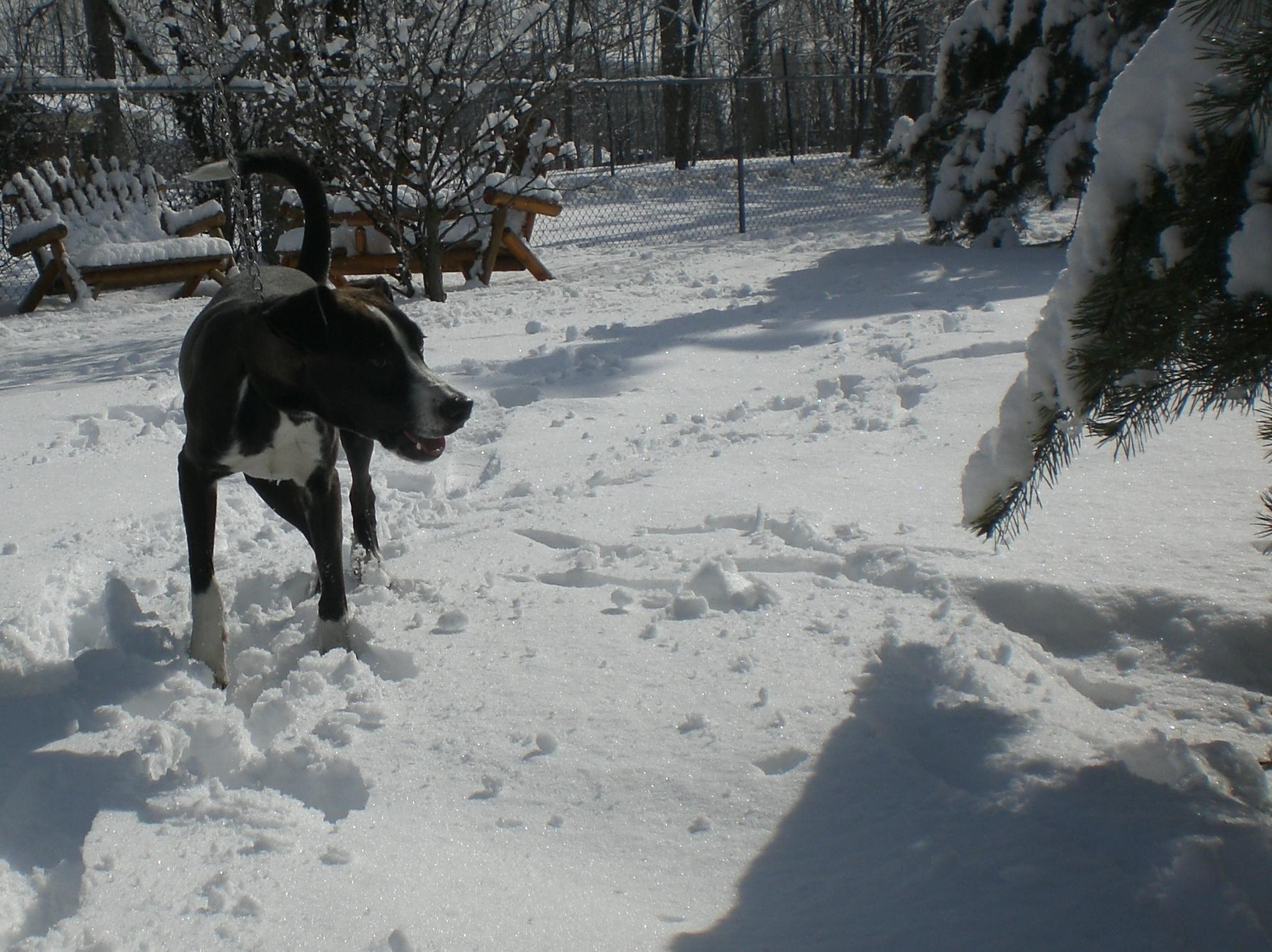 Sage Border Collie Labrador Retriever 1