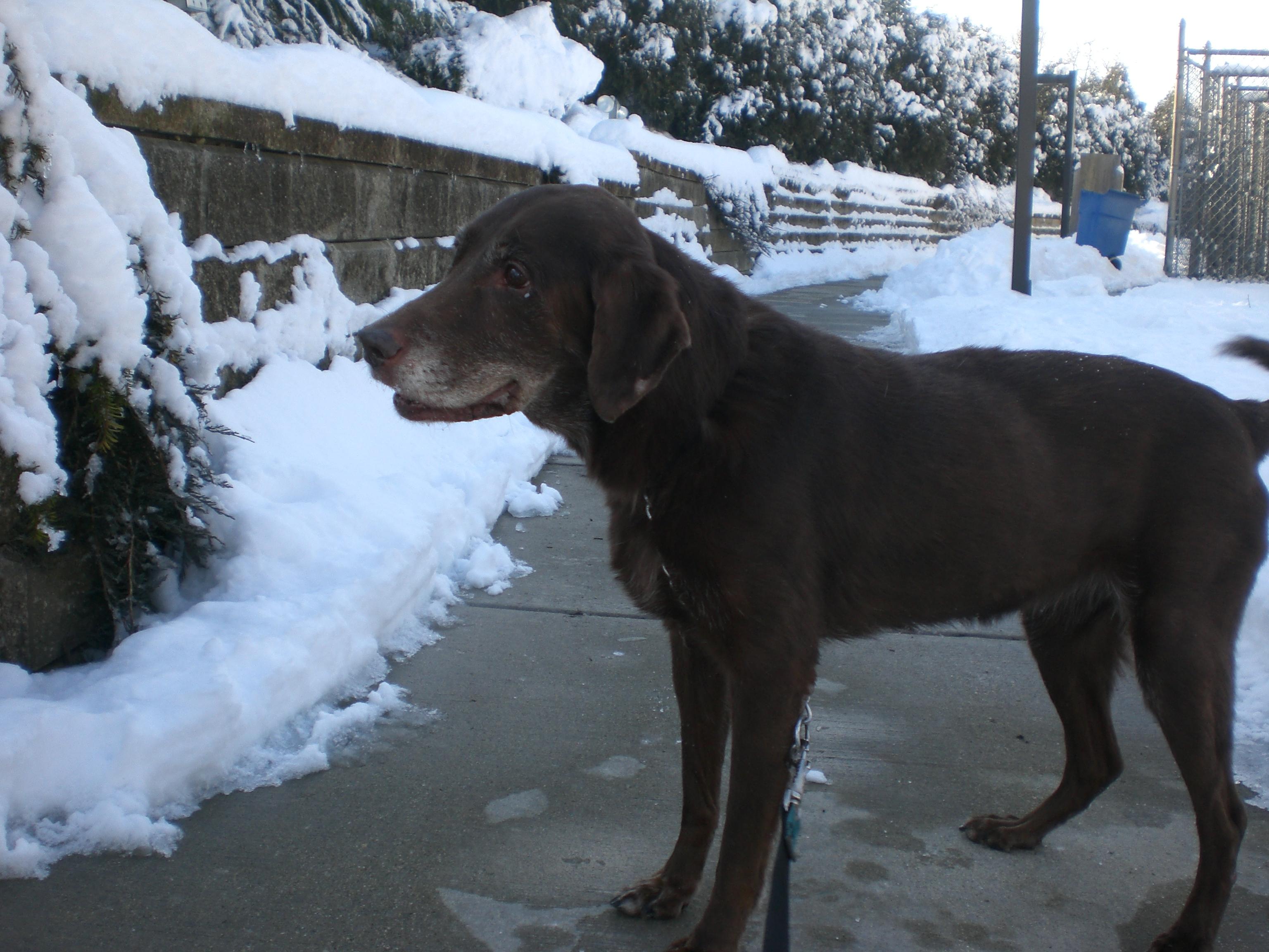 Coco Chocolate Labrador Retriever2 2