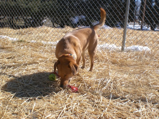 Bailey Labrador Retriever mix 1