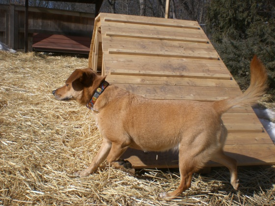 Bailey Labrador Retriever mix 2
