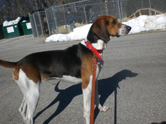 Ella Treeing Walker Coonhound 2