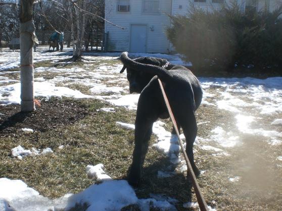Fudgie Labrador Retriever mix 1