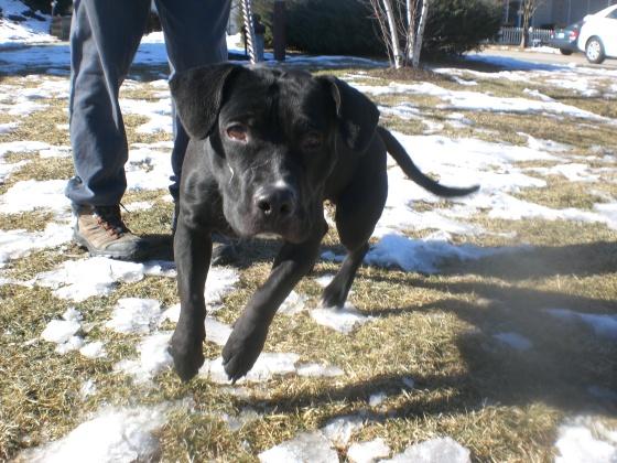 Fudgie Labrador Retriever 2