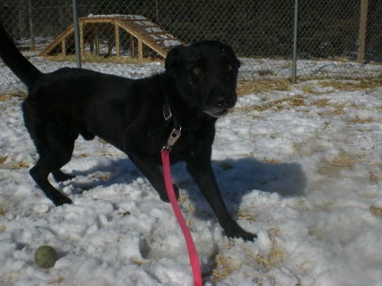 Keini Labrador Retriever Shepherd Mix 2