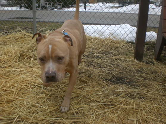 Rosco Pit Bull Terrier Mix 1