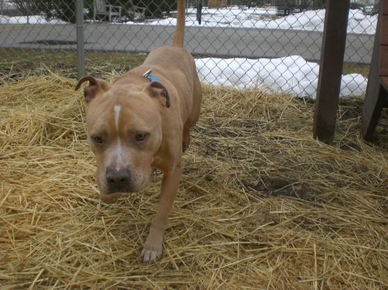 Rosco Pit Bull Terrier Mix 1