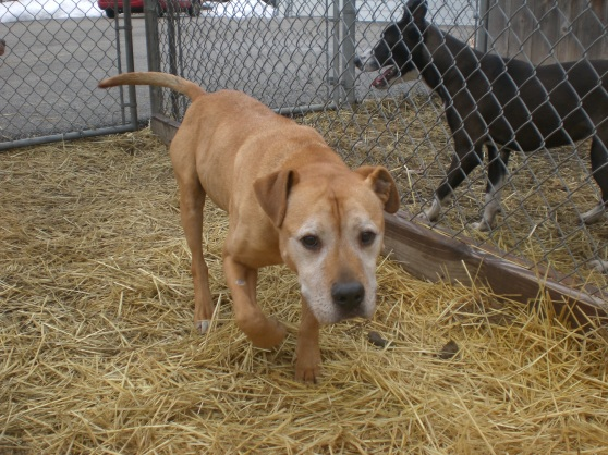 Wilbur Pit Bull Terrier Mix 1