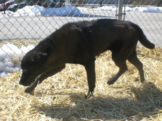Rolly Labrador Retriever mix 2