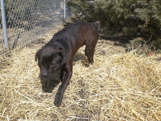 Rocky Rottweiler Labrador Retriever 2
