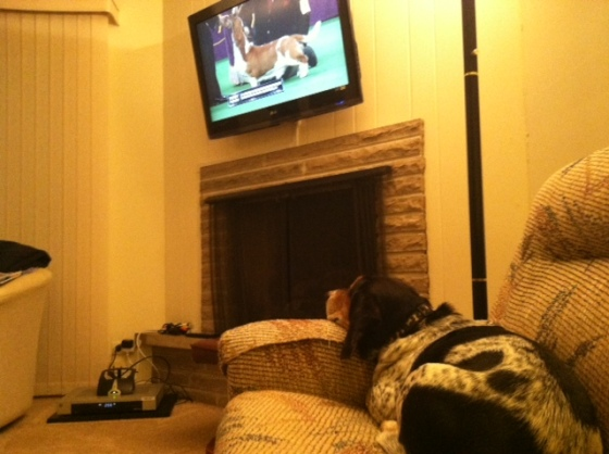 Cooper the Basset Hound mix watching the Basset Hound compete in Westminster