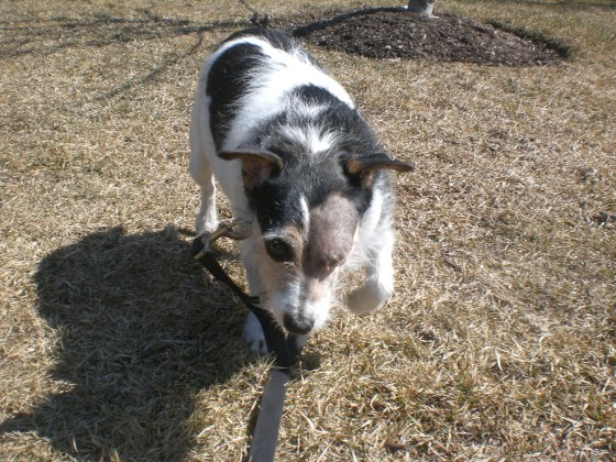 Biscuit Jack Russell Terrier mix 2