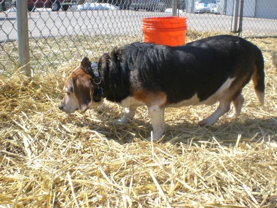 Buckeye Beagle mix 1