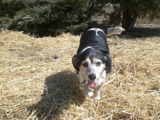 Freckles Beagle mix 3