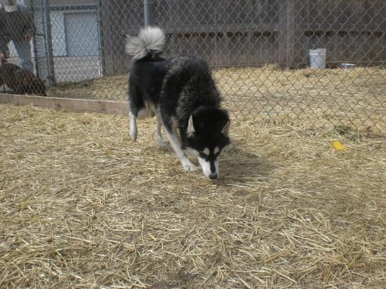 Maya Siberian Husky 1
