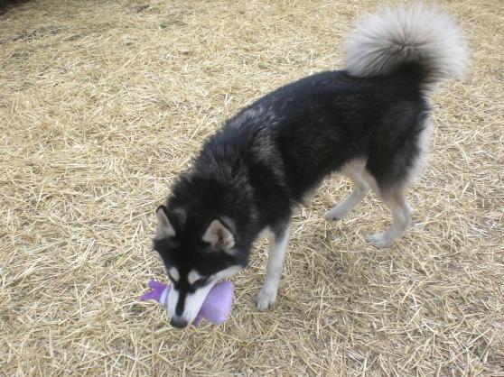 Maya Siberian Husky 2