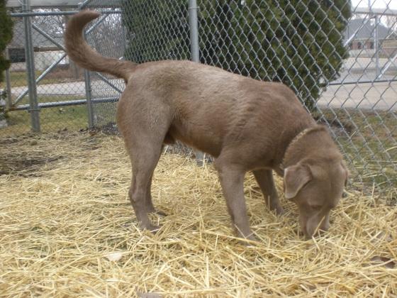 Buster Labrador Retriever mix 1