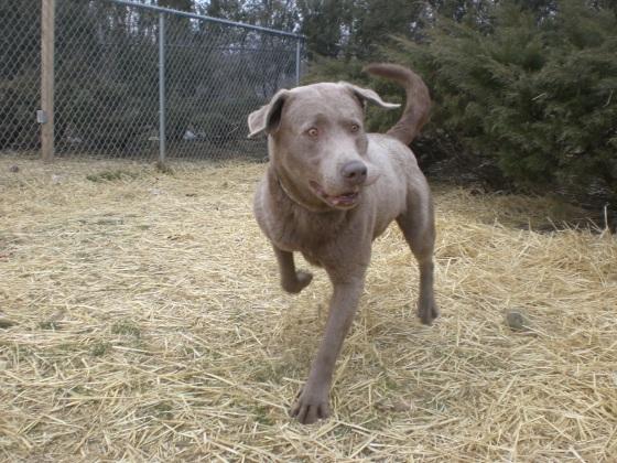 Buster Labrador Retriever 2