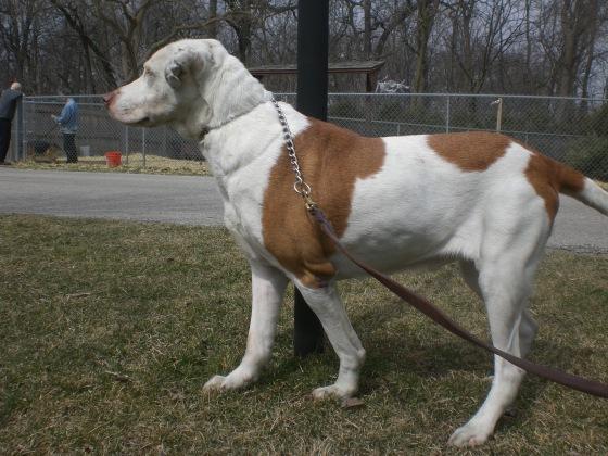 Ty Labrador Retriever Bulldog mix 1