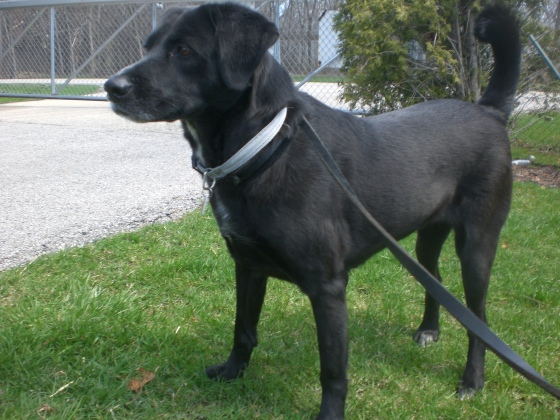 Lindy Black Labrador Retriever mix 1