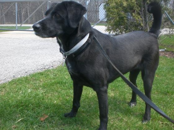 Lindy Black Labrador Retriever mix 1
