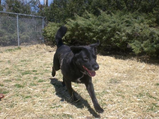 Blackie Black Labrador Retriever mix 2