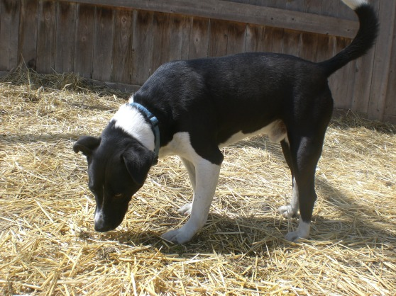 Wags Border Collie mix 1