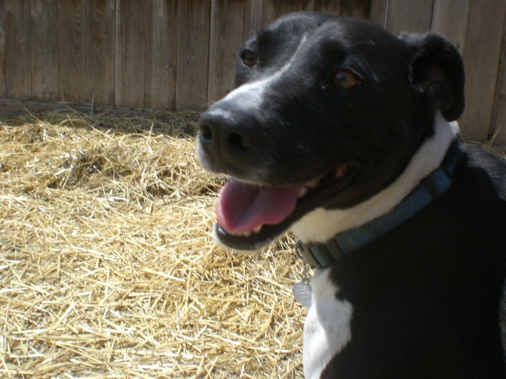 Wags Border Collie mix 2