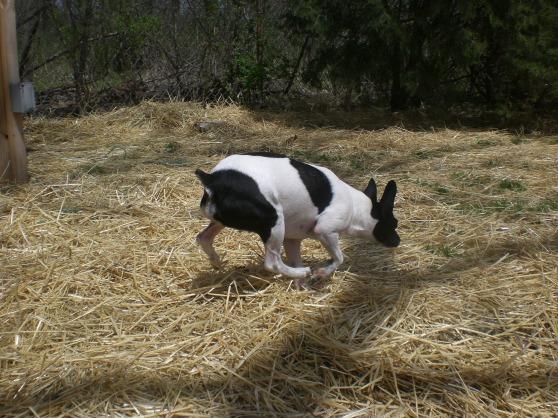 Nico Rat Terrier mix 1
