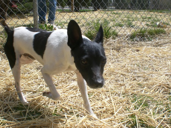 Nico Rat Terrier mix 2