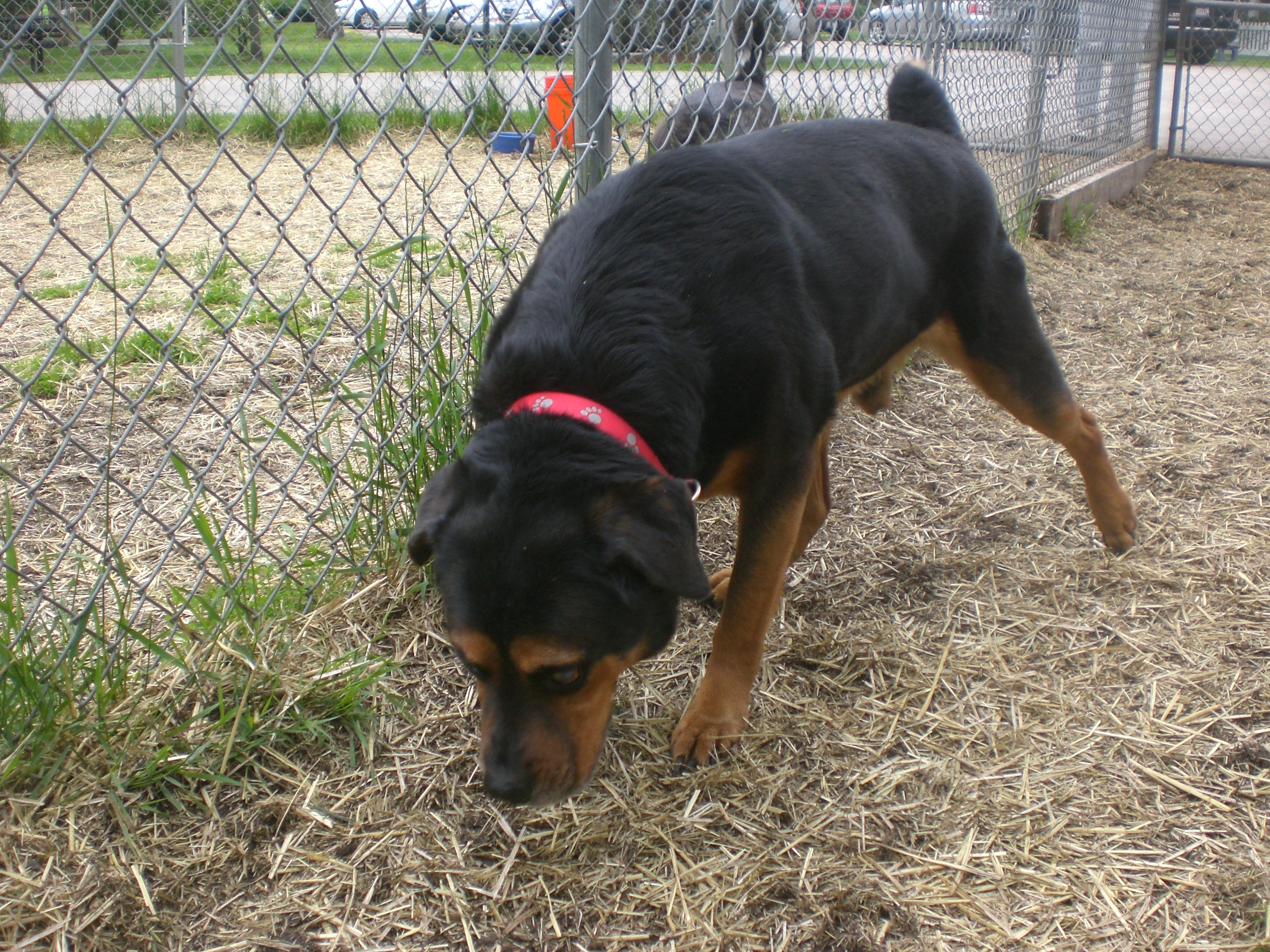 Dog And Human Mix Giorgio rottweiler mix 1