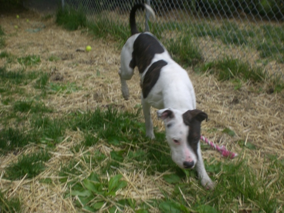 Gizmo Pit Bull Terrier mix 1