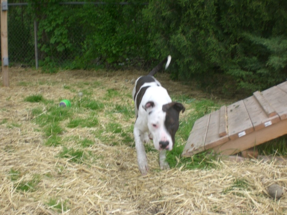 Gizmo Pit Bull Terrier mix 2