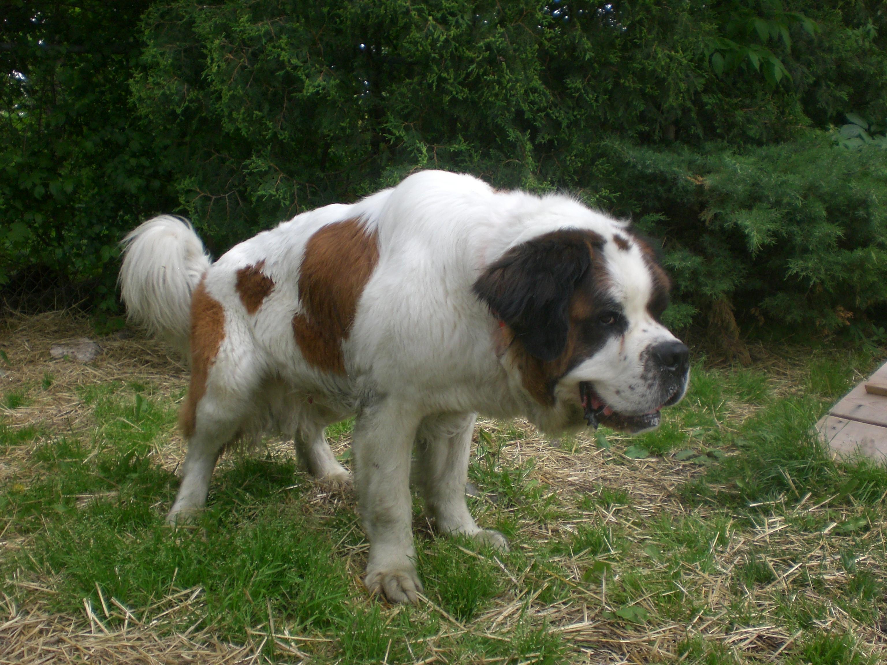 Dachshund German Shepherd Mix Puppies Balu st. bernard mix 2