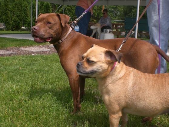 Vienna Puggle Bailey Labrador Retriever Pit Bull Terrier mix 1