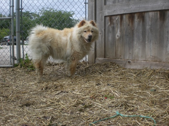 Halley Chow Chow mix 1