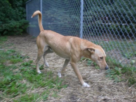 Duke Yellow Labrador Retriever mix 1