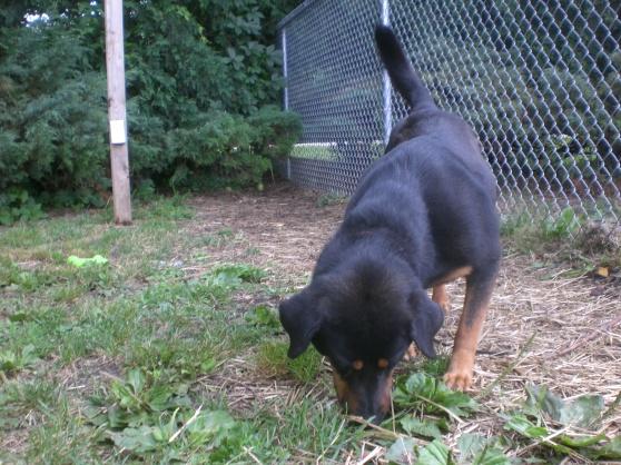 Hugo Rottweiler mix 2
