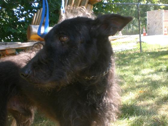 Gordon Terrier mix 2